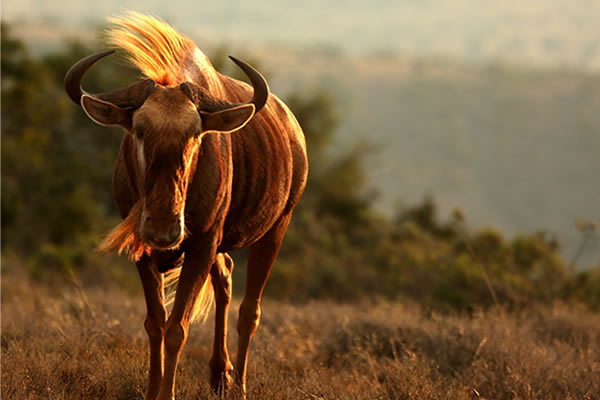 WILDEBEEST - GOLDEN