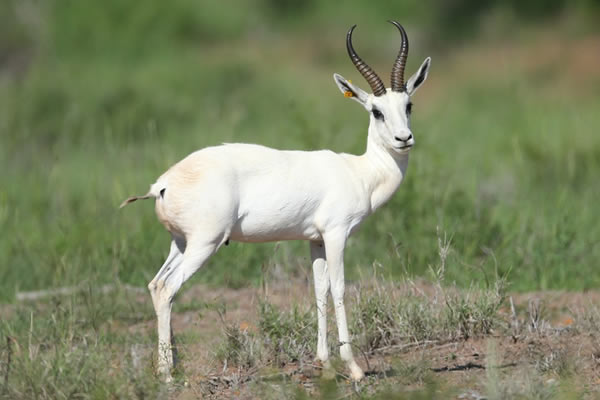 SPRINGBUCK WHITE